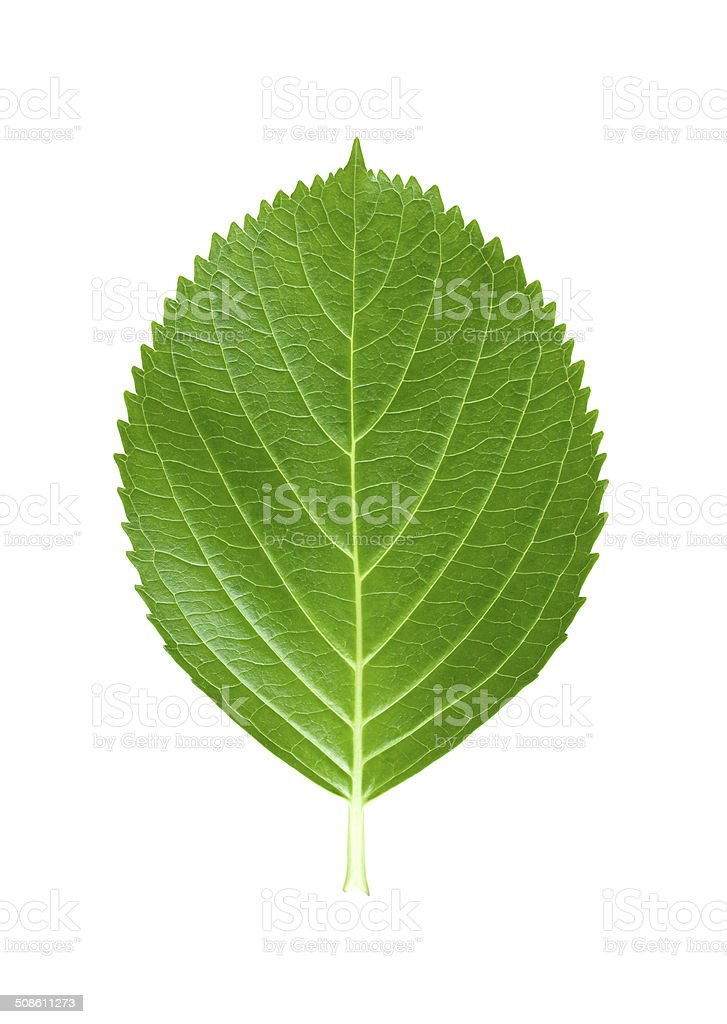 Green leaf isolated on white background stock photo