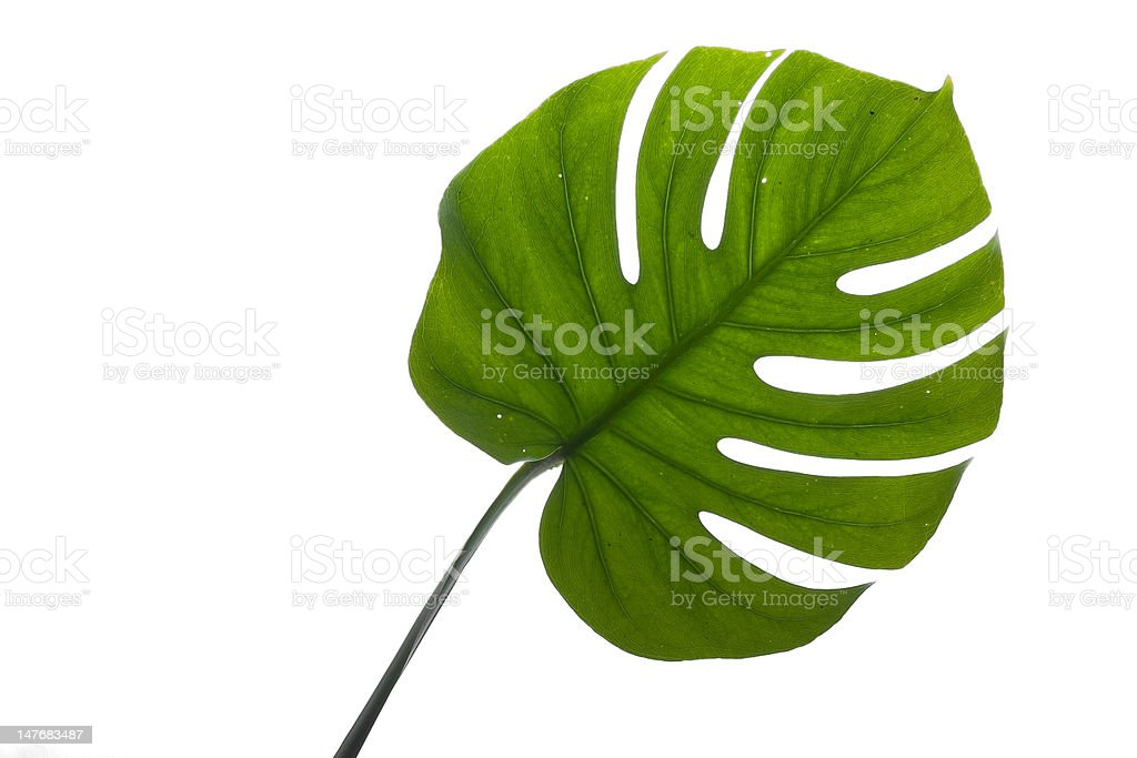 Green Leaf isolated on white stock photo