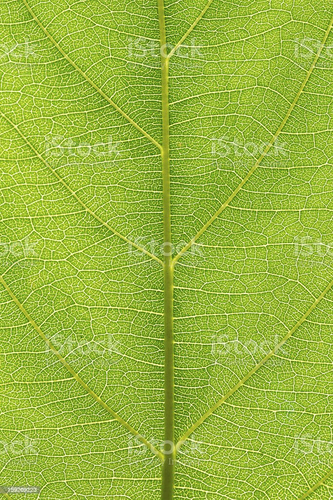 Green Leaf Macro royalty-free stock photo