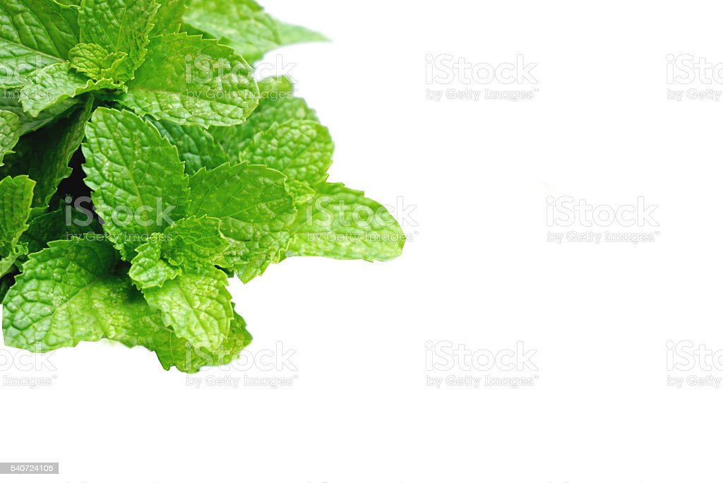 green leaf mint isolated on a white background stock photo