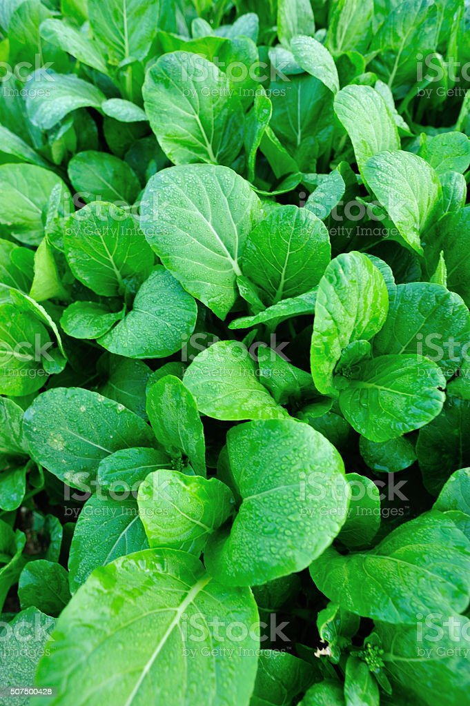 Green leaf mustard in growth at vegetable garden stock photo