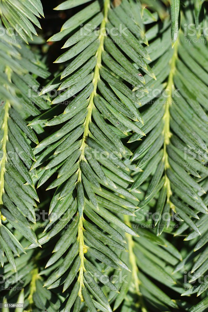 Green leaf needles of yew tree evergreen leaves Taxus baccata stock photo