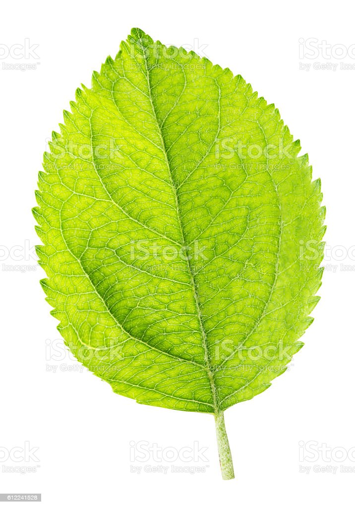 Green leaf of apple isolated on a white background stock photo