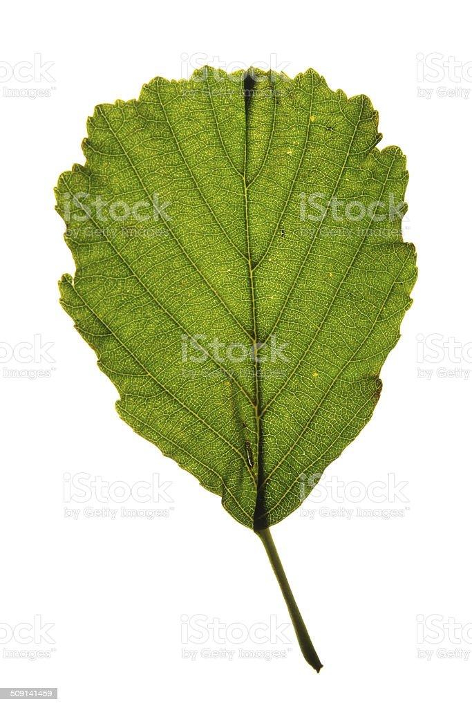 Green leaf of Black alder (Alnus glutinosa) isolated on white stock photo