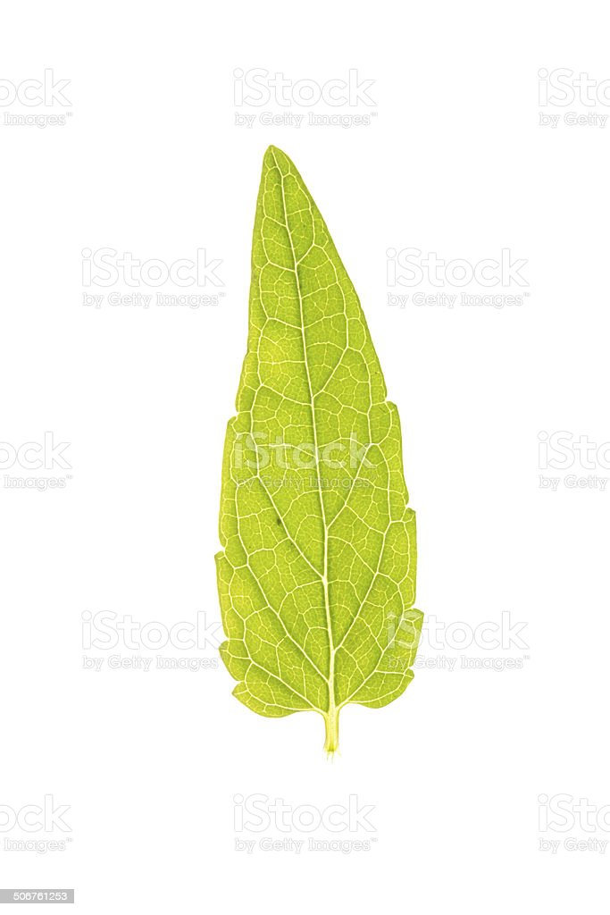 Green leaf of Common Skullcap isolated on white stock photo