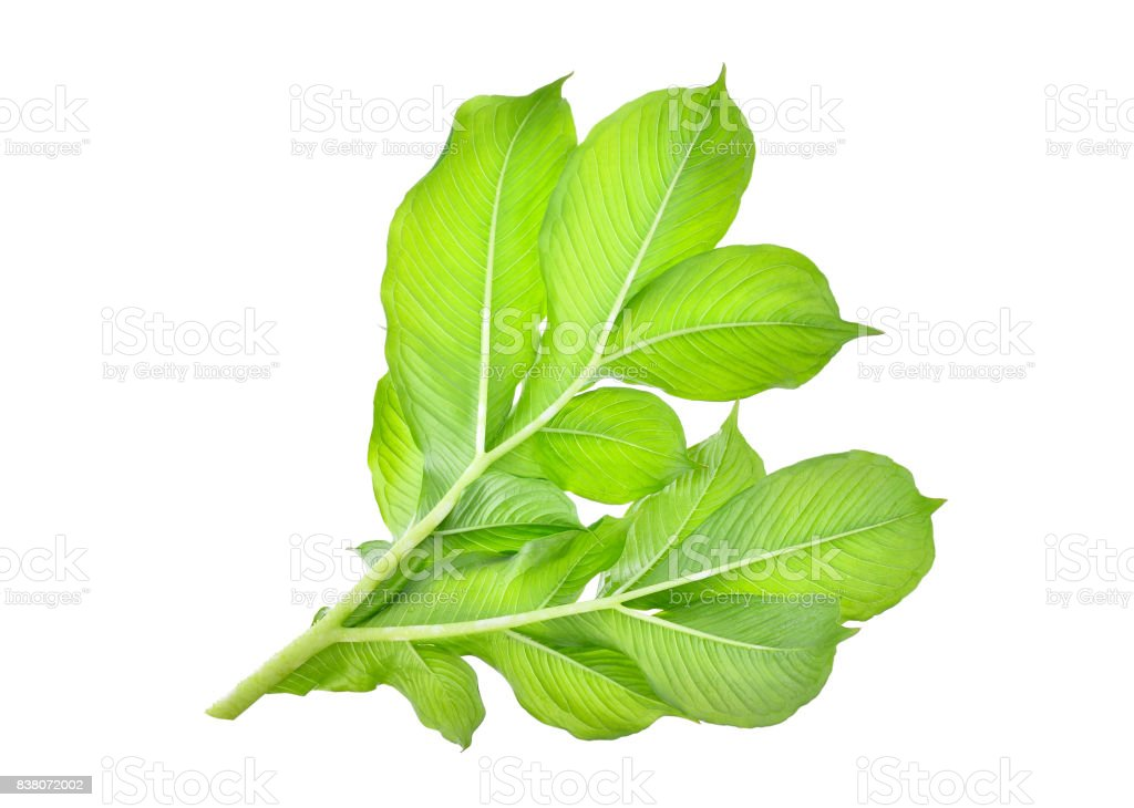 green leaf of  elephant yam or stanley's water-tub tropical plant isolated on white background stock photo
