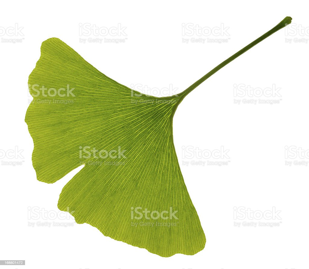 Green leaf of ginkgo stock photo