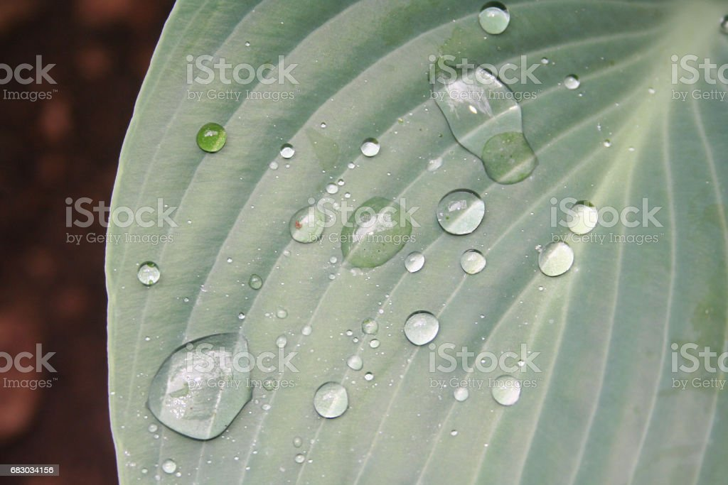 Green leaf of hosta plant covered in water rain drops stock photo
