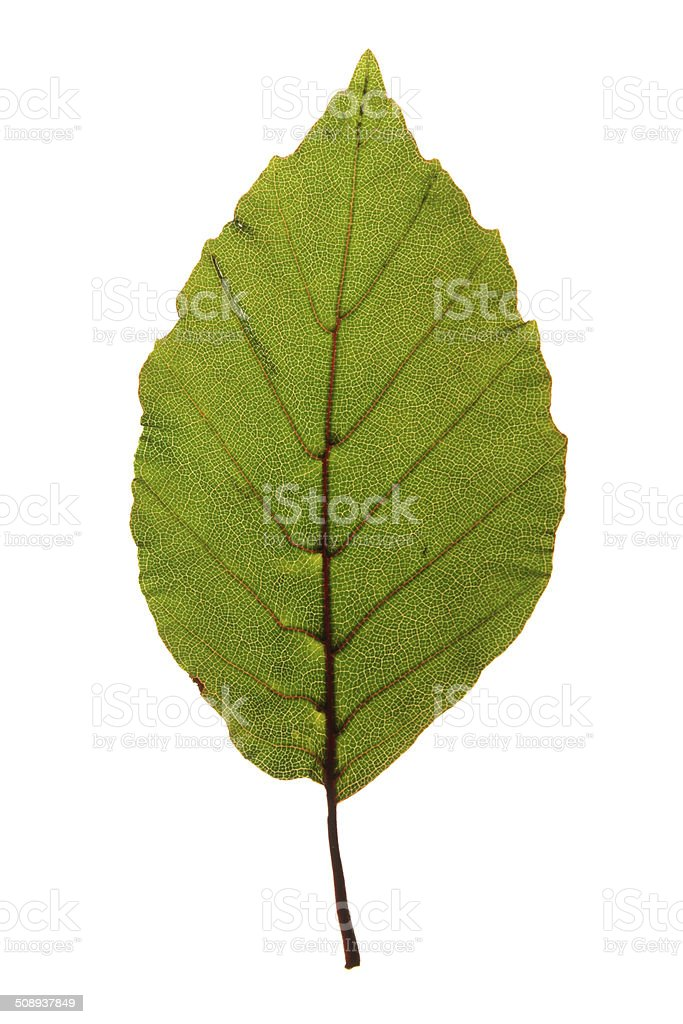 Green leaf of Purple beech isolated on white stock photo