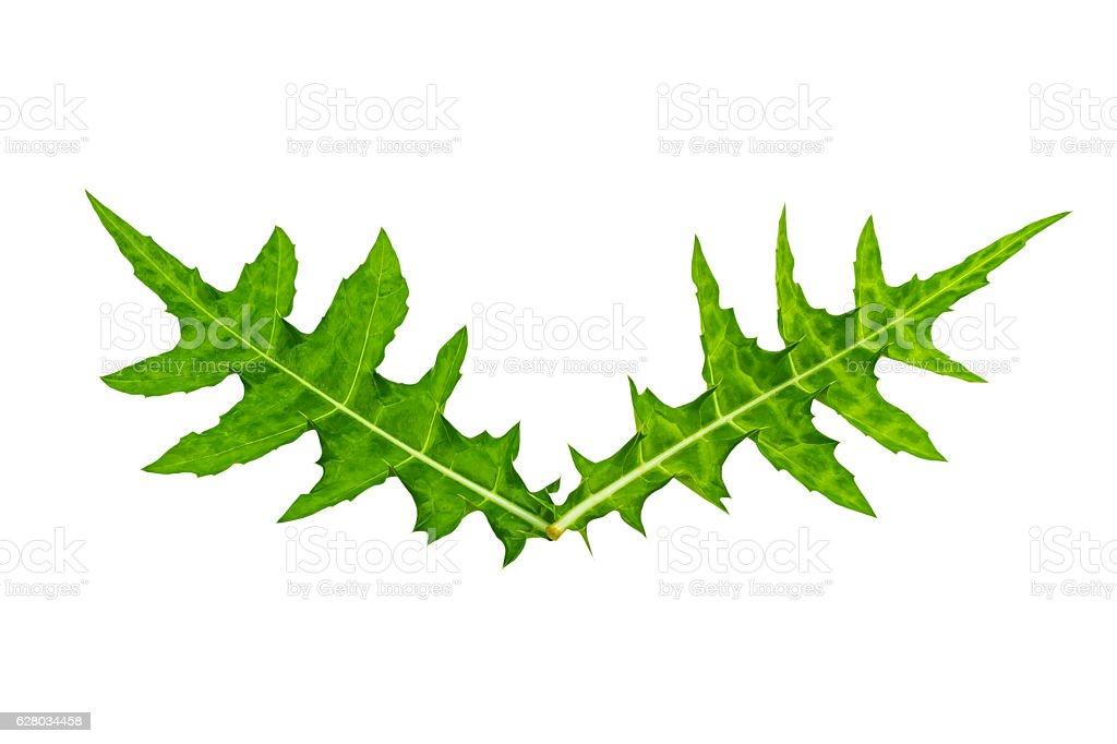 Green leaf of  Sea holly ( Acanthus ebracteatus) on white. stock photo