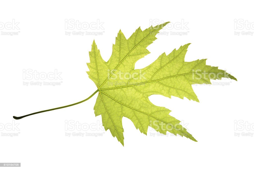 Green leaf of silver maple isolated on white background stock photo
