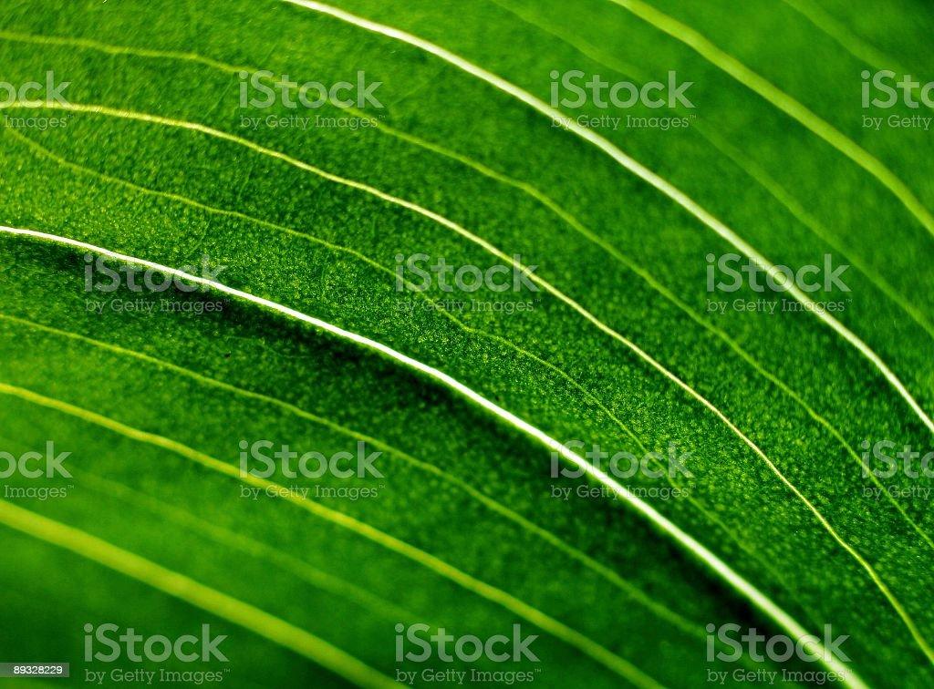 green leaf of the amaryllis royalty-free stock photo