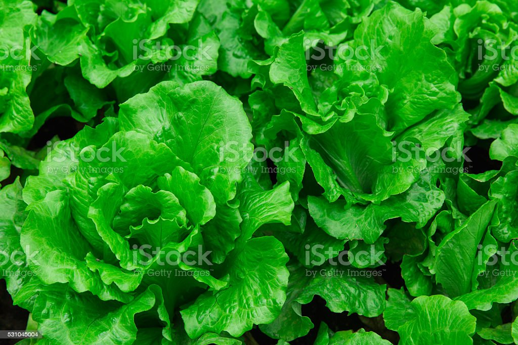green leaf of vegetable stock photo