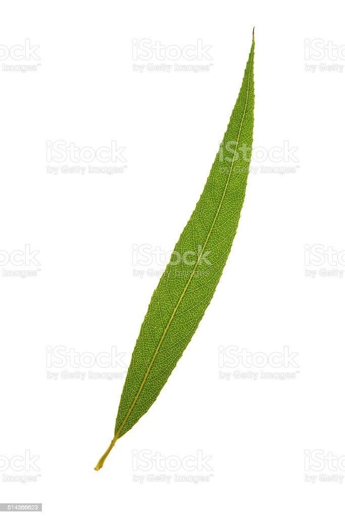 Green leaf of White willow (Salix alba) isolated on white stock photo