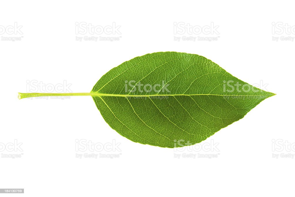Green leaf on a white background royalty-free stock photo