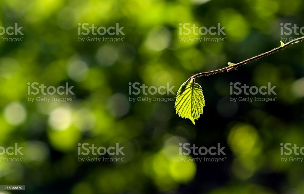 Green leaf on out of focus forest background stock photo