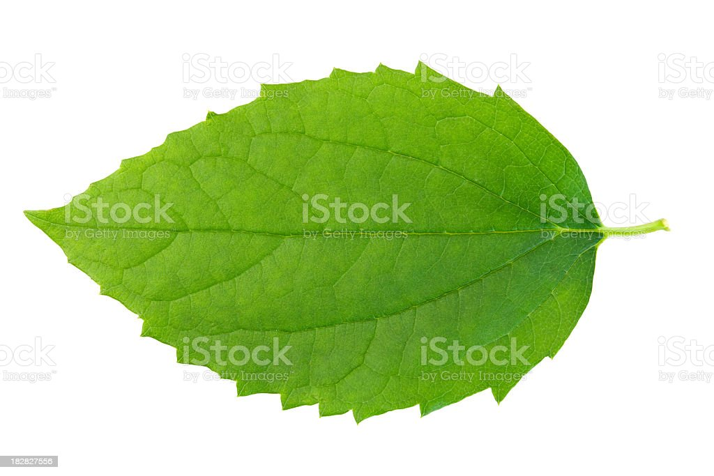 Green leaf on wbite background. stock photo