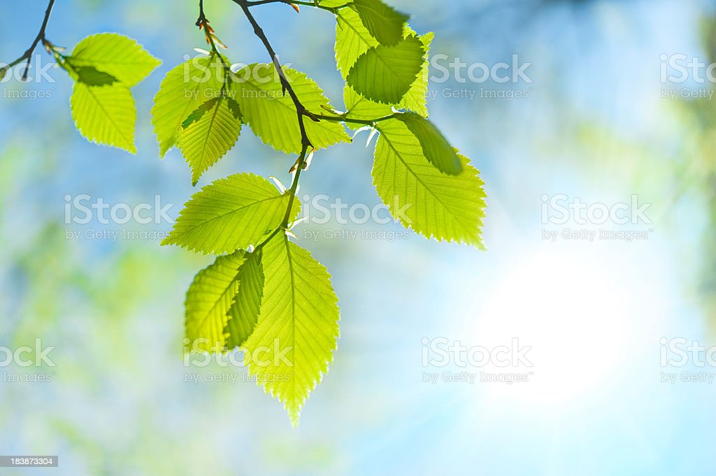 Green leaf opposite sun and sky stock photo