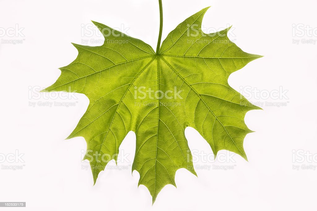 Green leaf. royalty-free stock photo