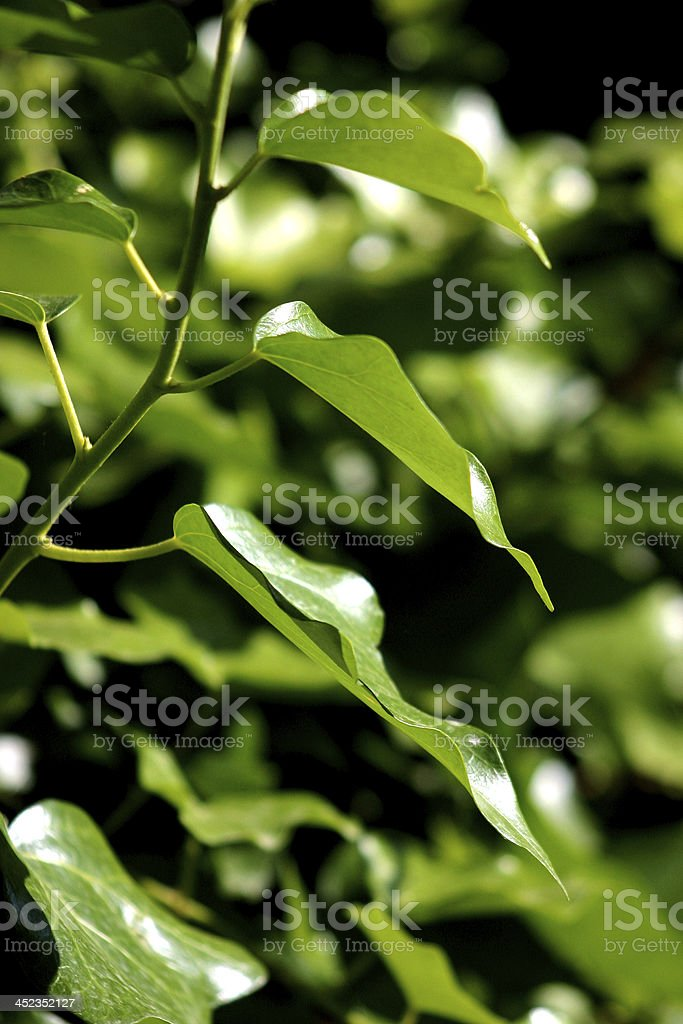 foglia verde royalty-free stock photo