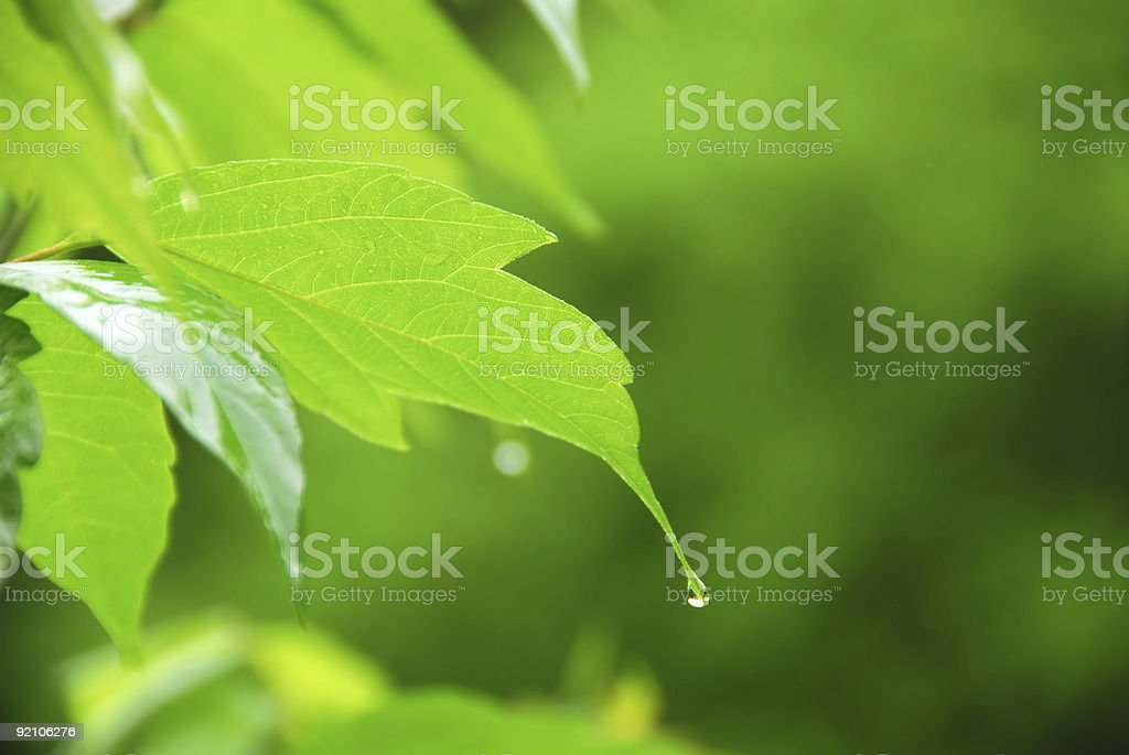 Green leaf rain royalty-free stock photo
