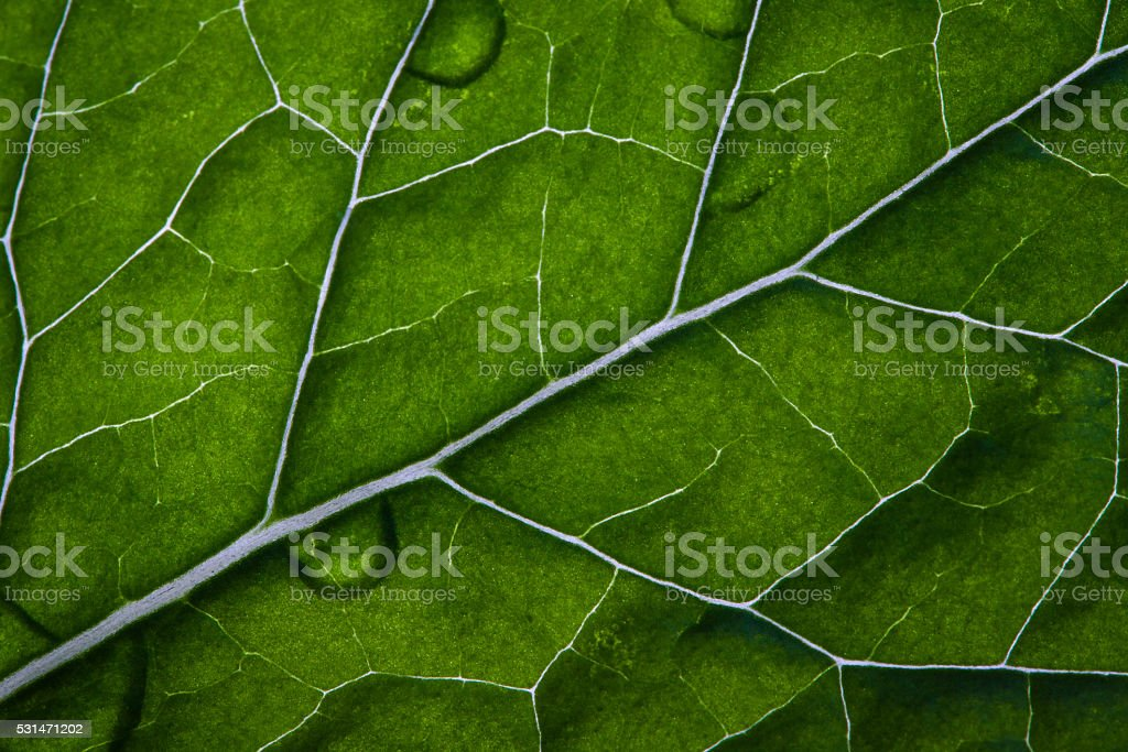 Green leaf structure. Mint leaf closeup texture. Nature background. stock photo