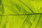 green leaf texture closeup light pass
