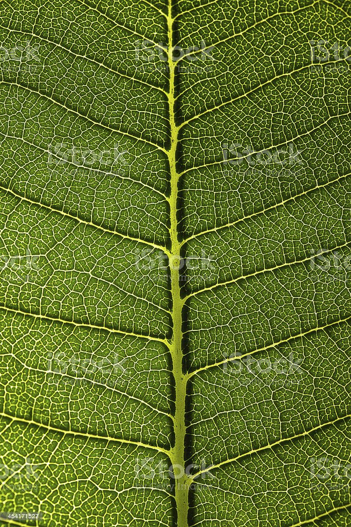 Green leaf texture royalty-free stock photo