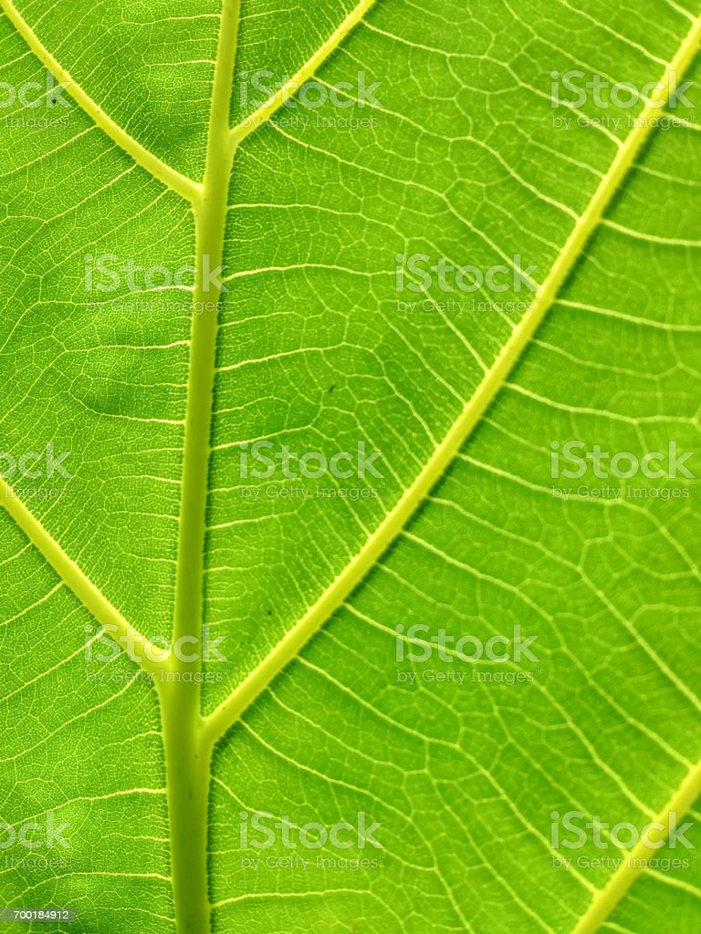 green leaf texture with sunlight background stock photo