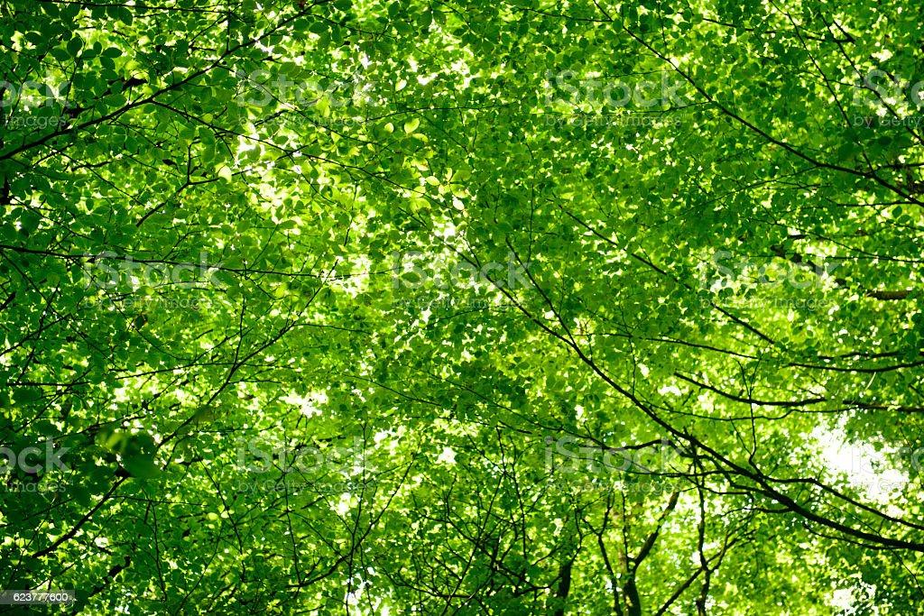 Green leaf tree canopy stock photo