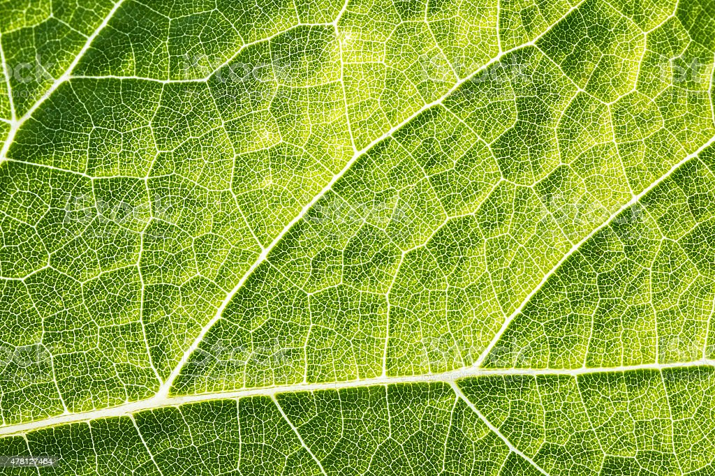 Green leaf vein textured full frame shape of grape vine stock photo