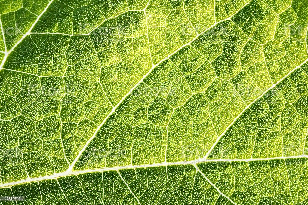 Green leaf vein textured full frame shape of grape vine stock photo