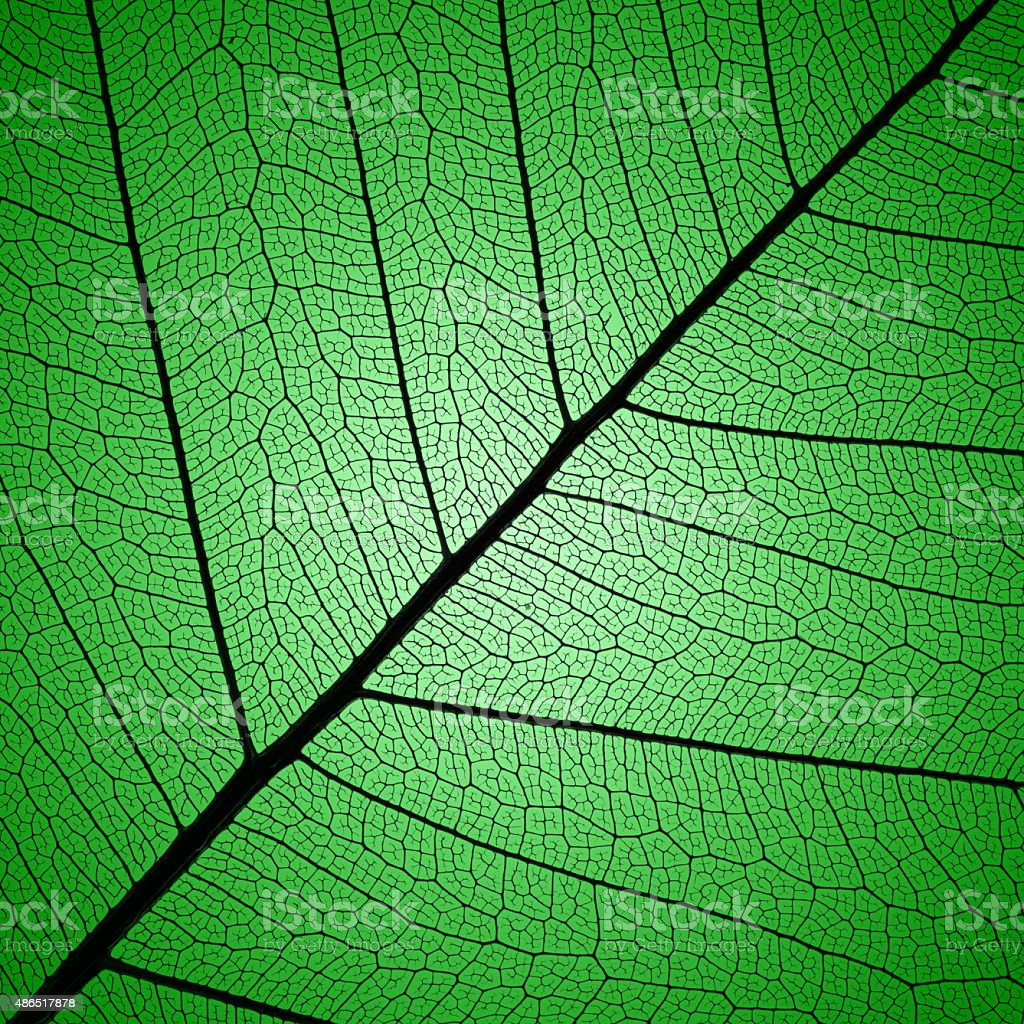 green leaf veins skeleton extremely detailed stock photo
