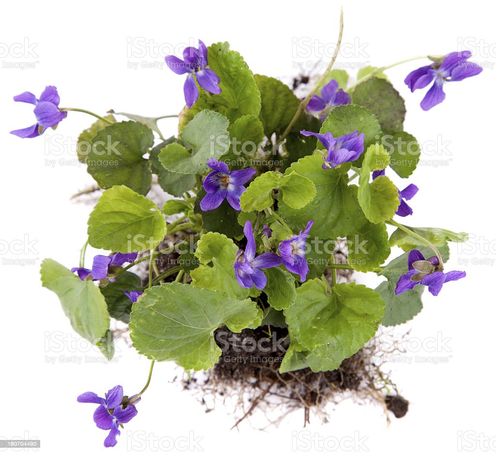Green leaf, violet royalty-free stock photo