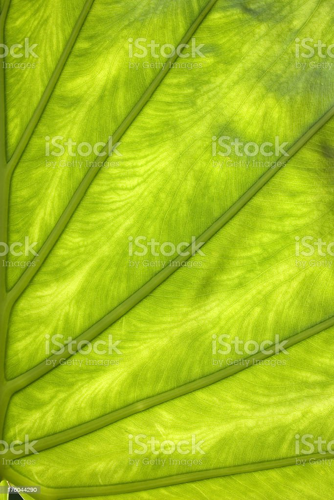 Green leaf with veins royalty-free stock photo
