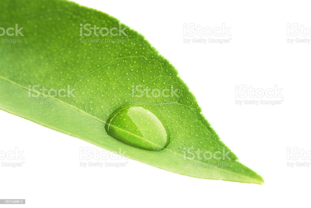 Green Leaf with Water Dew Drop Cut Out White Background royalty-free stock photo