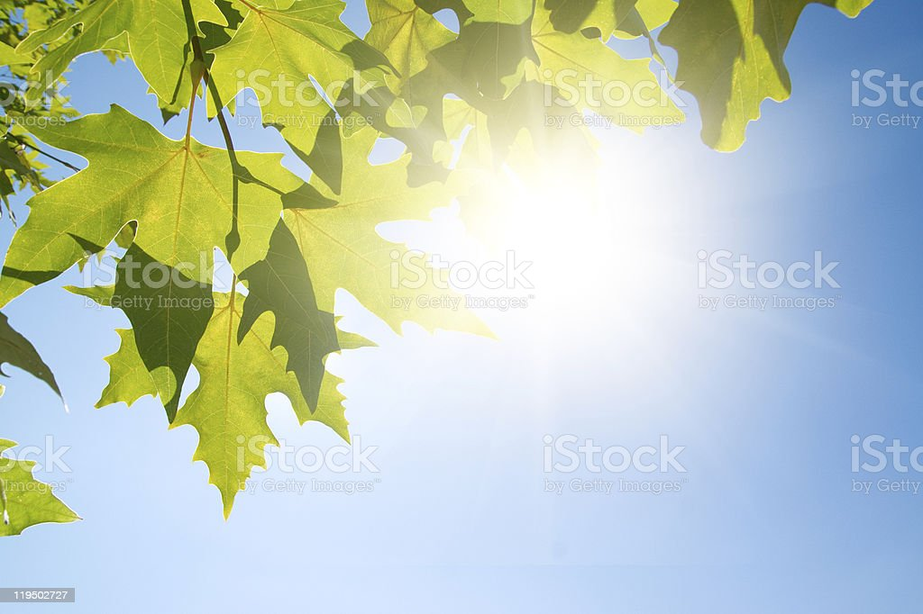Green leafe  of maple in sunny day. stock photo