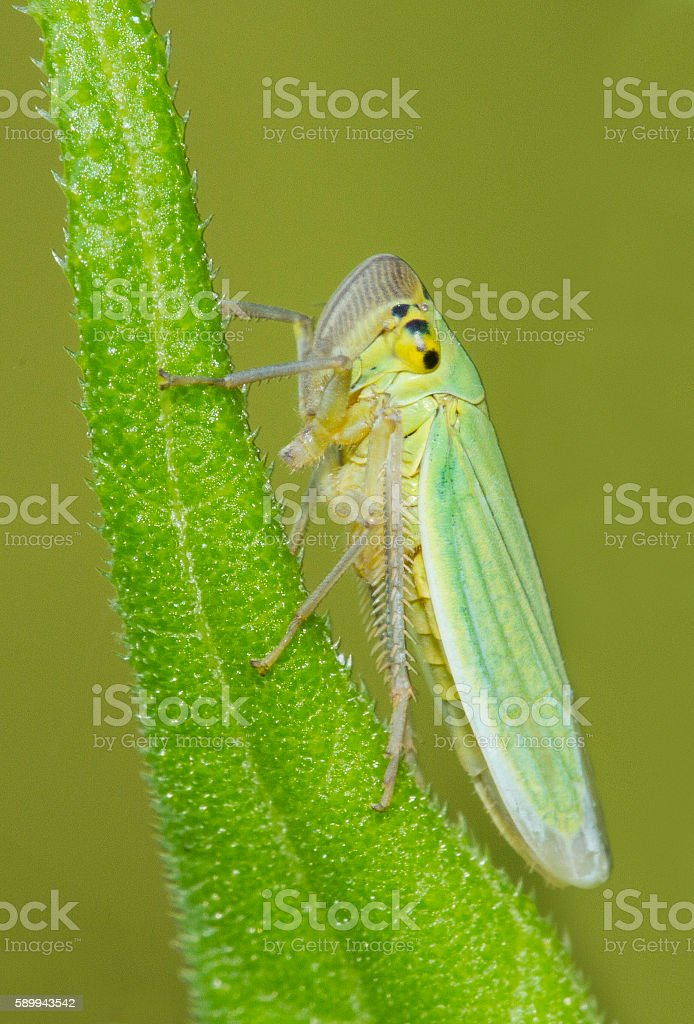 Green Leafhoppers stock photo