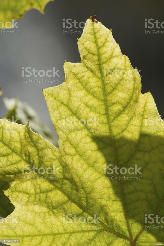 green leafs on the sun royalty-free stock photo