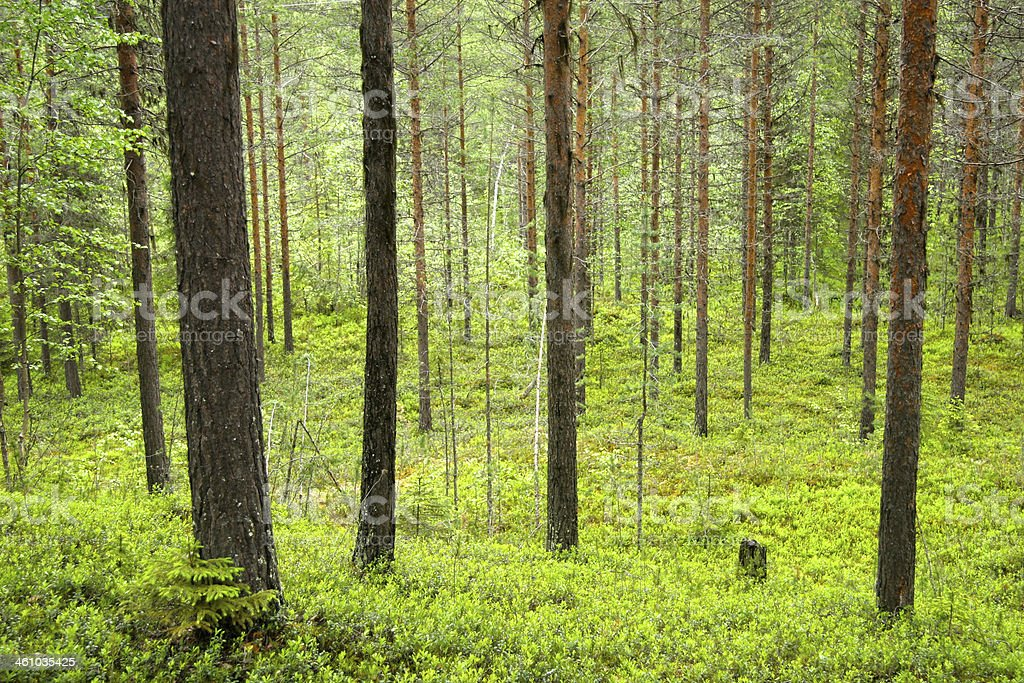 Green leafy forest, Sweden. stock photo