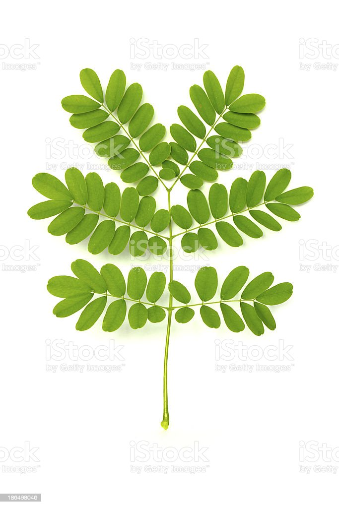 Green leave on white background royalty-free stock photo