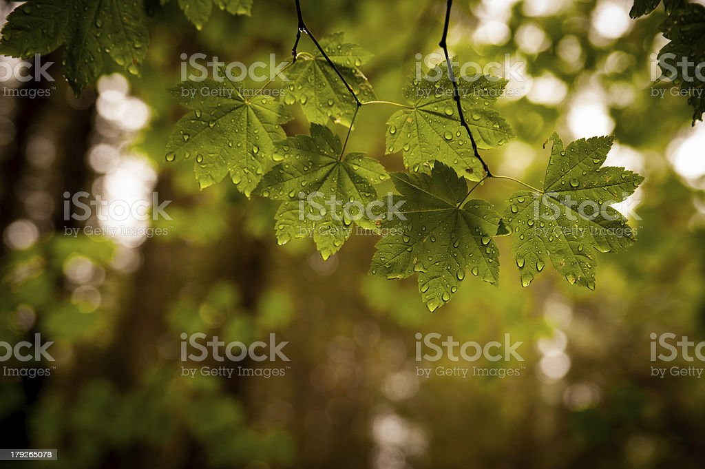 Green Leaves After The Rain royalty-free stock photo