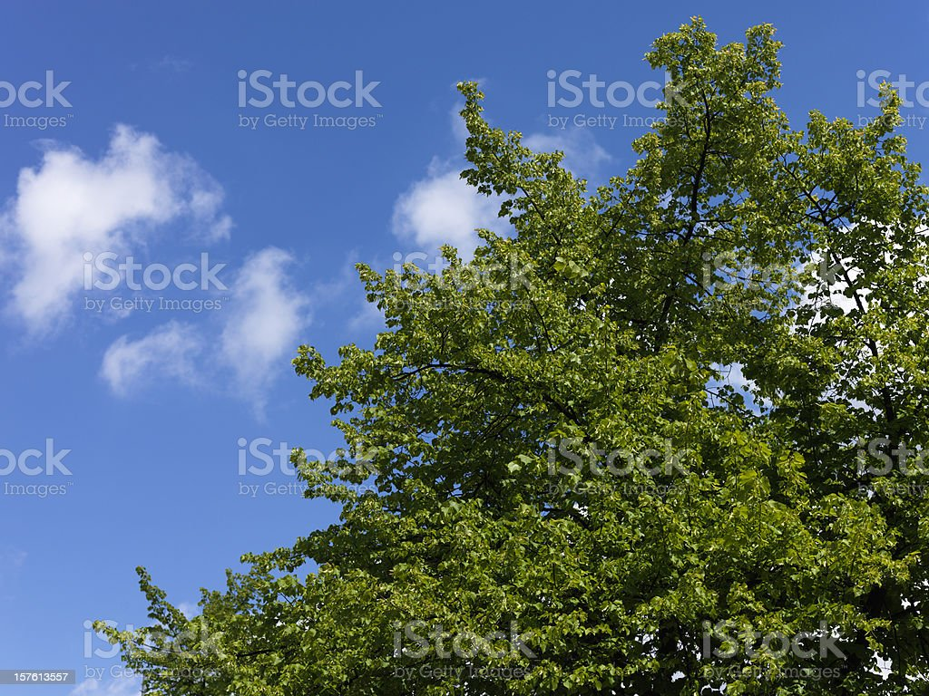 Green leaves against blue sky, shot with Hasselblad H3DII-50 royalty-free stock photo