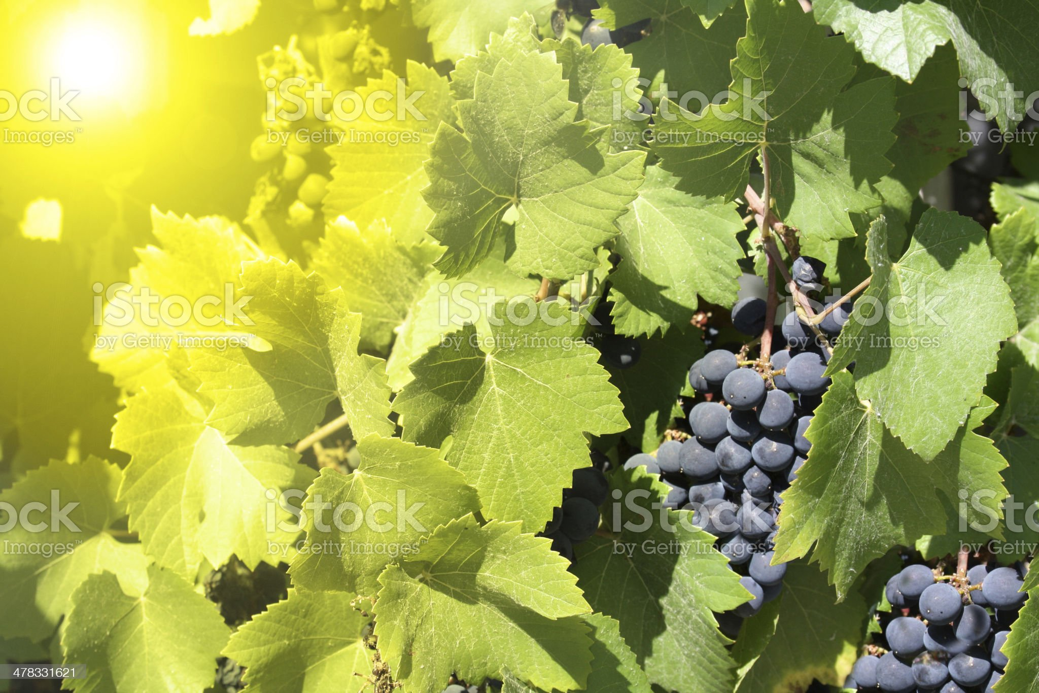 green leaves and blue grapes royalty-free stock photo