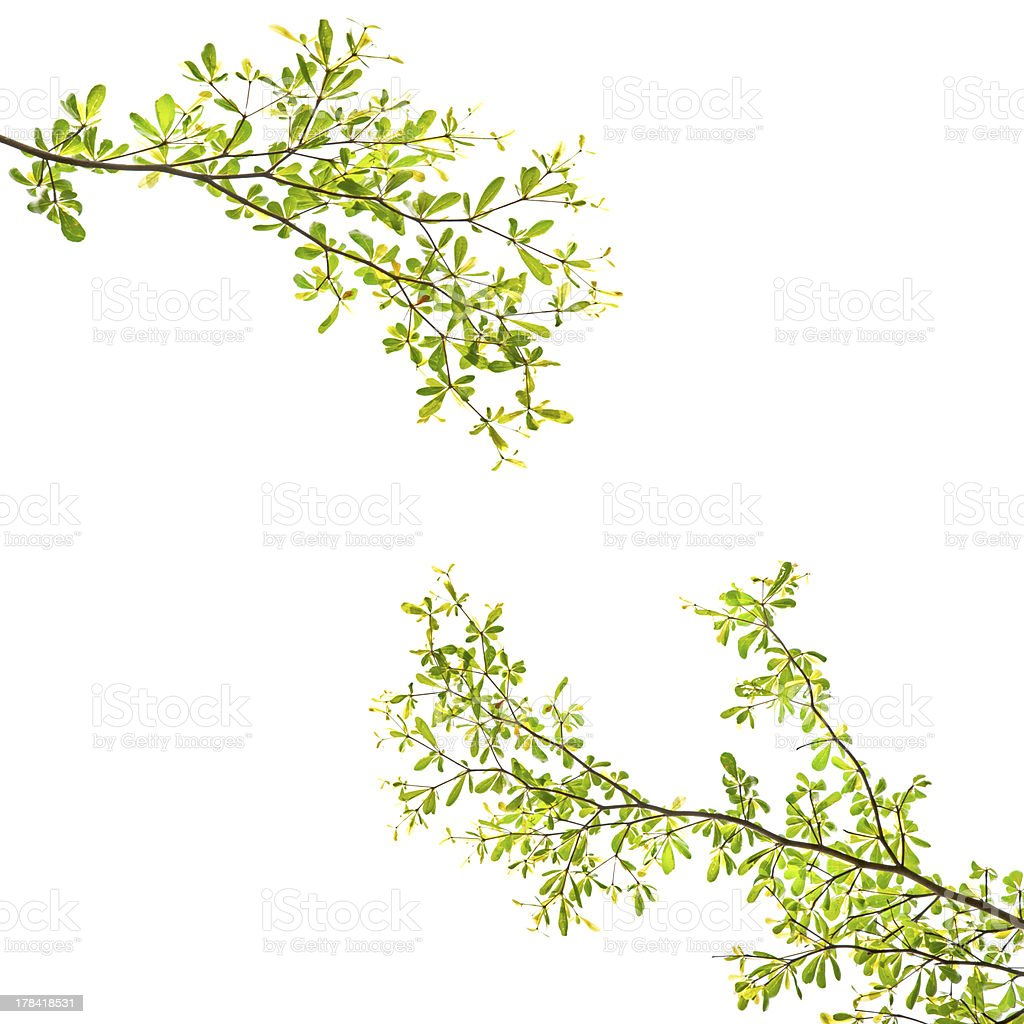 green leaves and branches royalty-free stock photo