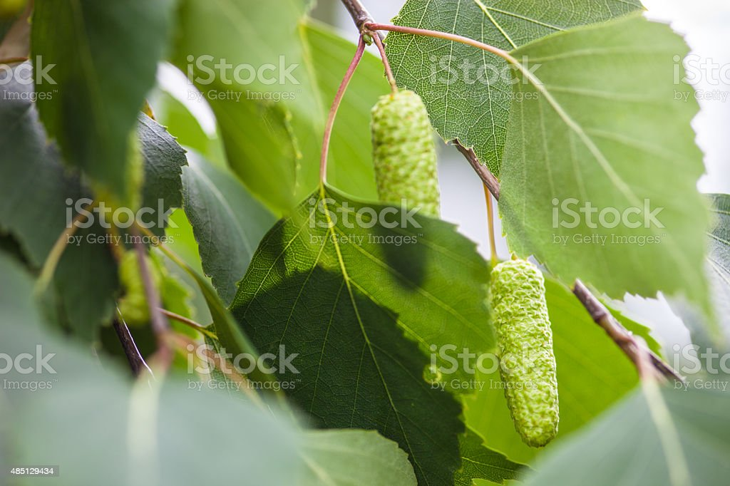 Green leaves and catkins of the birch tree stock photo