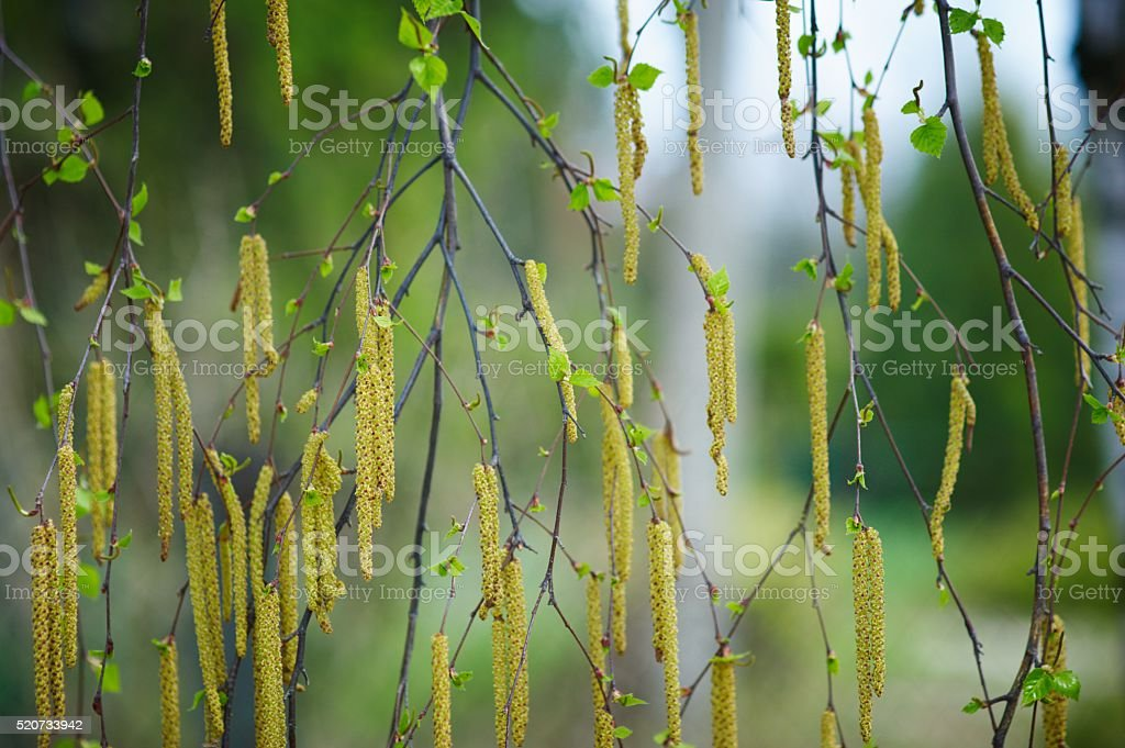 green leaves and catkins stock photo