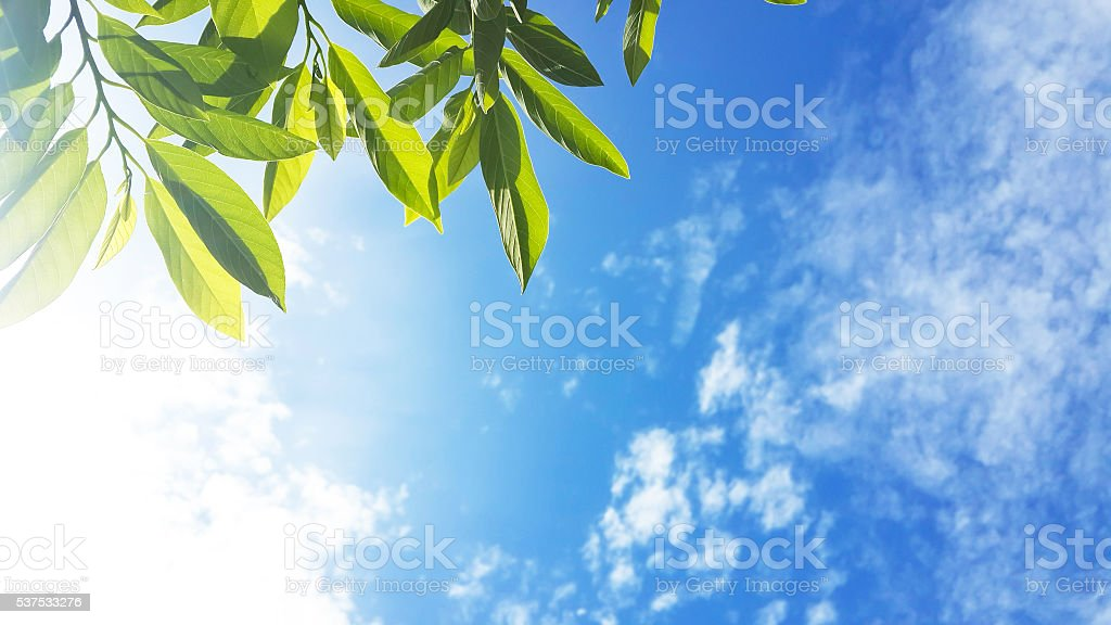 Green leaves and sun background stock photo