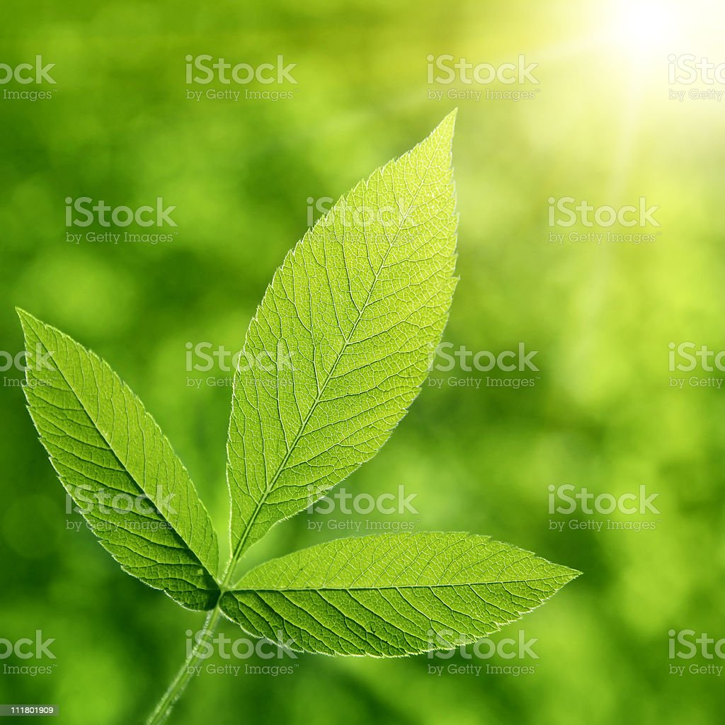 Green leaves and sunlight. stock photo