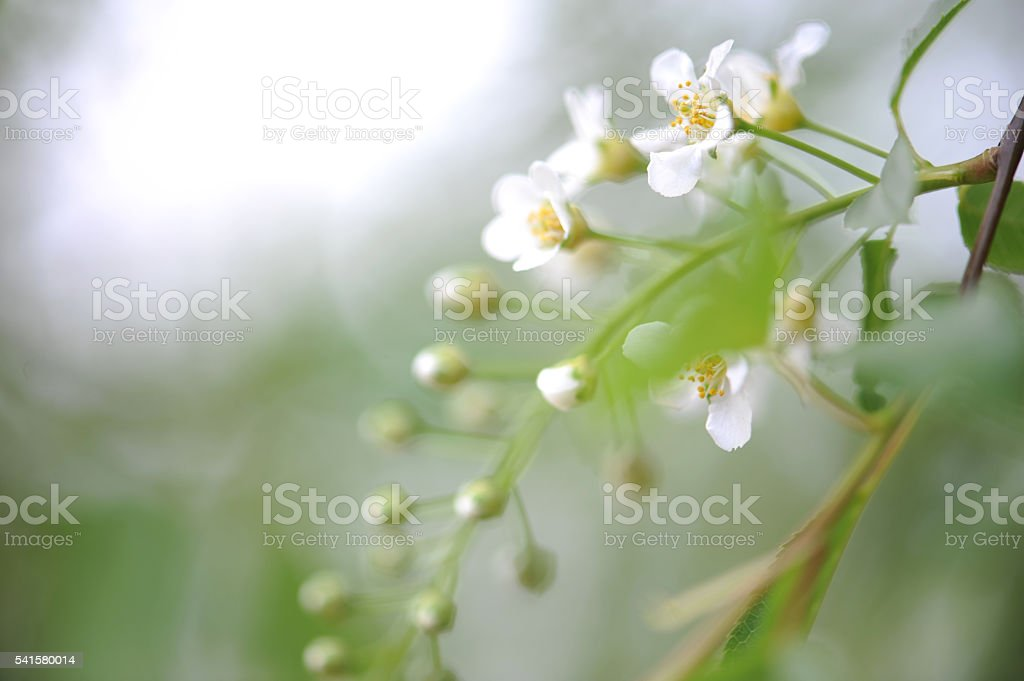 Green leaves and white flowers on the tree stock photo